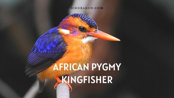 African Pygmy Kingfisher - fakty i opis
