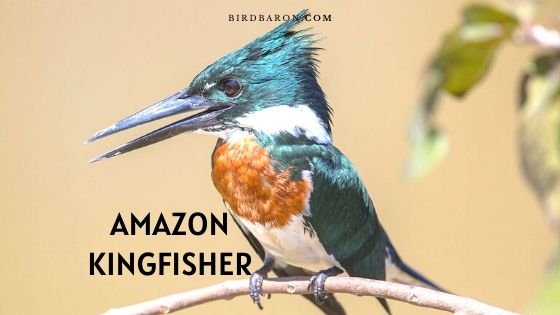 Amazon Kingfisher Bird - Faits | La description