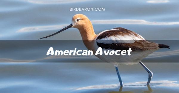 American Avocet Bird - Faits | Gamme | Habitat