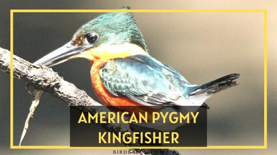 American Pygmy Kingfisher Bird Profile