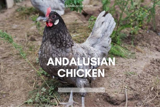 Andalusian Chicken - Eggs | Breeds | Facts