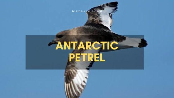 Antarctic Petrel (Thalassoica antarctica) Facts