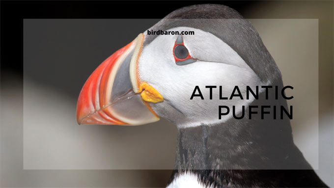 Atlantic Puffin - Facts, Size, Habitat, Nesting, Breeding