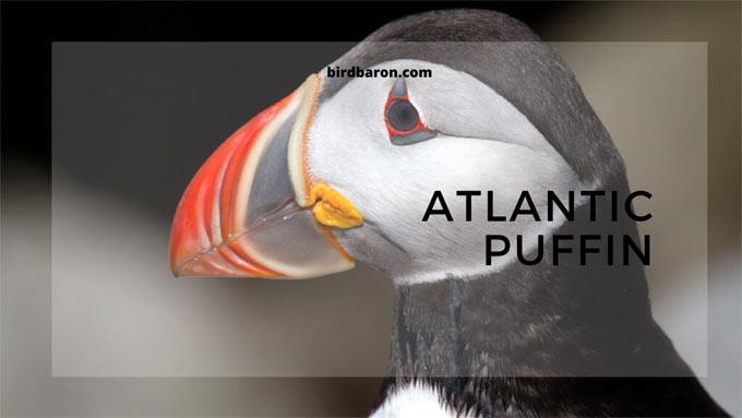 Атлантик пуфин - факти, големина, живеалиште, гнездење, размножување