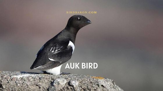 Auk Bird Description, Facts and Nature
