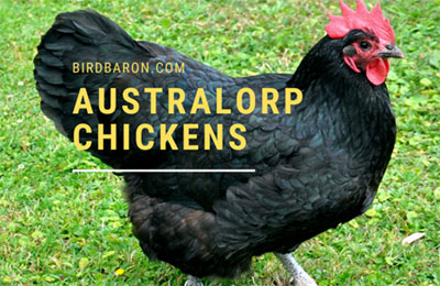 Australorp Chickens Characteristics | Types | Egg Color | For Sale
