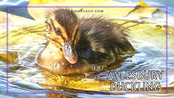 Aylesbury Duckling - Care | Size | Facts | Maturity