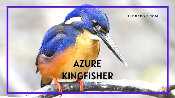 Azure Kingfisher Bird - Profile | Facts |