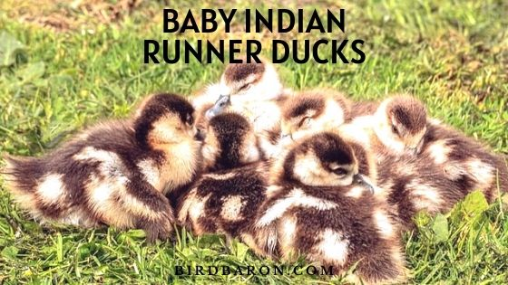 Baby Indian Runner Ducks - Facts | Eat | look Like | Feed