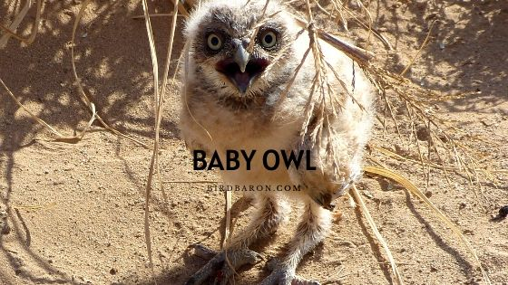 Baby Owl - Description | Facts | Legs | Care | Sleeping