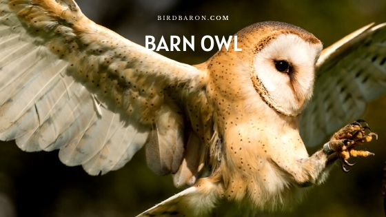 Barn Owl - Food | Lifespan | Flying | Habitat | Facts
