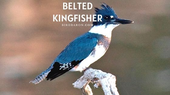 Belted Kingfisher Bird - Facts | Description | Call