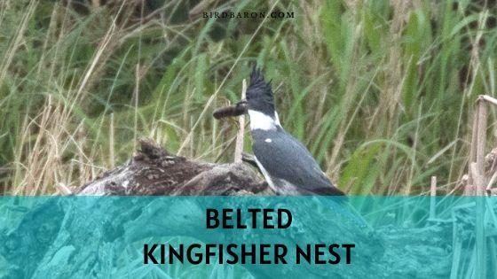 Ceinturé Kingfisher Nest - Tout sur sa maison