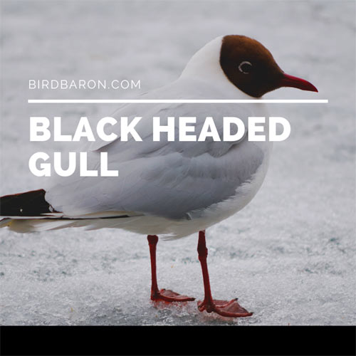 Black Headed Gull - Seagull Facts, Range and Migration