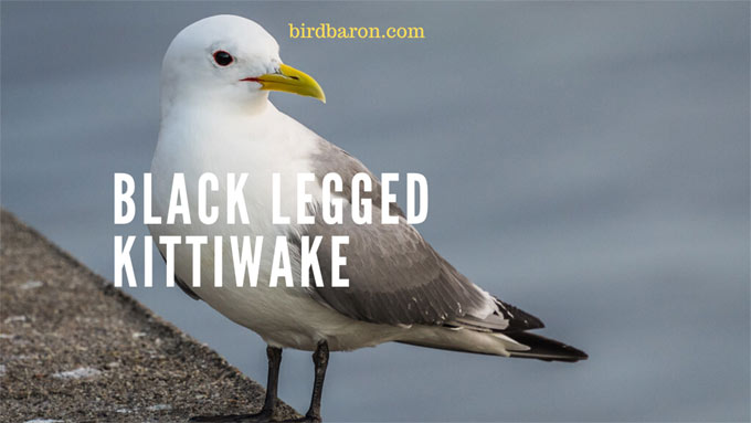 Black Legged Kittiwake - Facts| Juvenile | Range| Flight