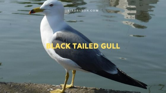 Black Tailed Gull (Larus crassirostris) Description
