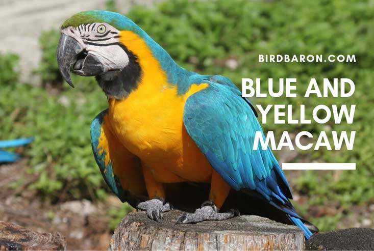 Blue and Yellow Macaw Parrot - Facts | Diet | Habitat