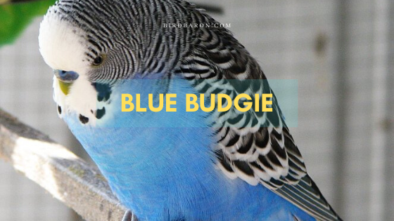 Blue Budgie Bird Facts, Color and Information