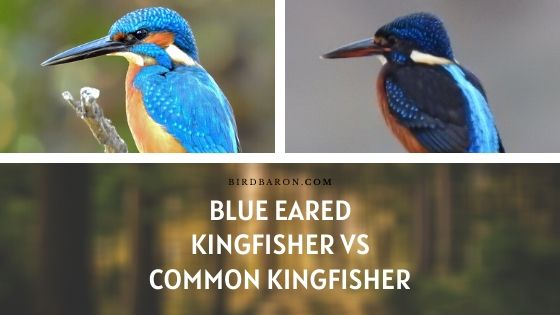 Kingfisher à oreilles bleues vs Kingfisher commun