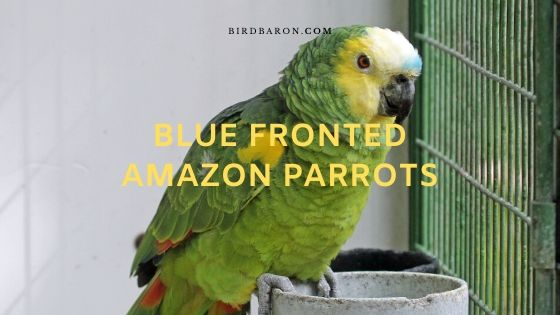Blue Fronted Amazon Parrots Description