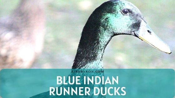 Blue Indian Runner Ducks - Production | Care | Diet