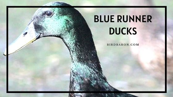 Blue Runner Ducks - Eggs | Fly | Sale | Pet | Chicks