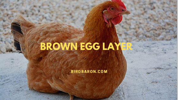 Brown Egg Layer - Chickens that Lay Brown Eggs