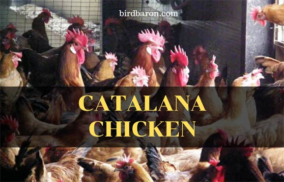 Catalana Chicken Breed - What to Know for Sale