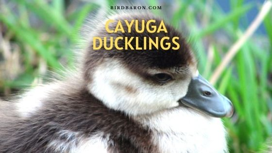 Cayuga Ducklings - Profile | Care | Mal or Female | Hatching