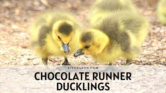 Chocolate Indian Runner Ducklings - Profil | Opieka