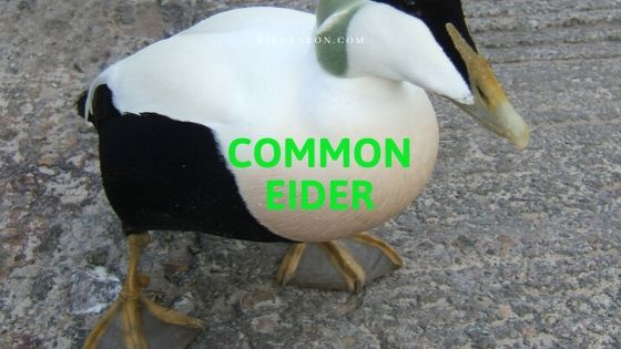 Common Eider (Somateria mollissima) Bird Profile