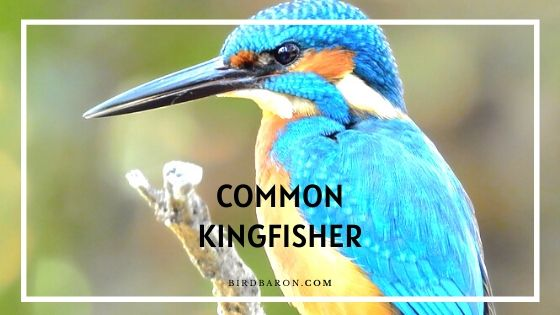 Common Kingfisher Bird - Facts | Description | Diet