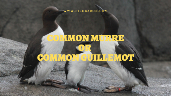 Common Murre or Guillemot (Uria aalge) Facts