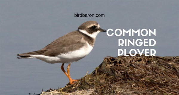 Common Ringed Plover - An Introduction