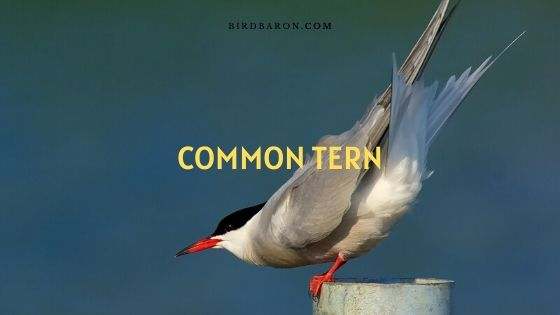 Common Tern Habitat | Call | Migration | Diet