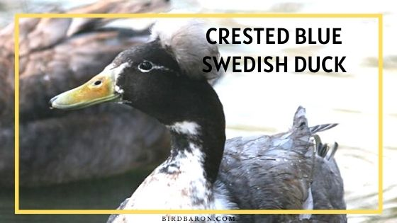 Crested Blue Swedish Duck - Eggs | Traits | Color