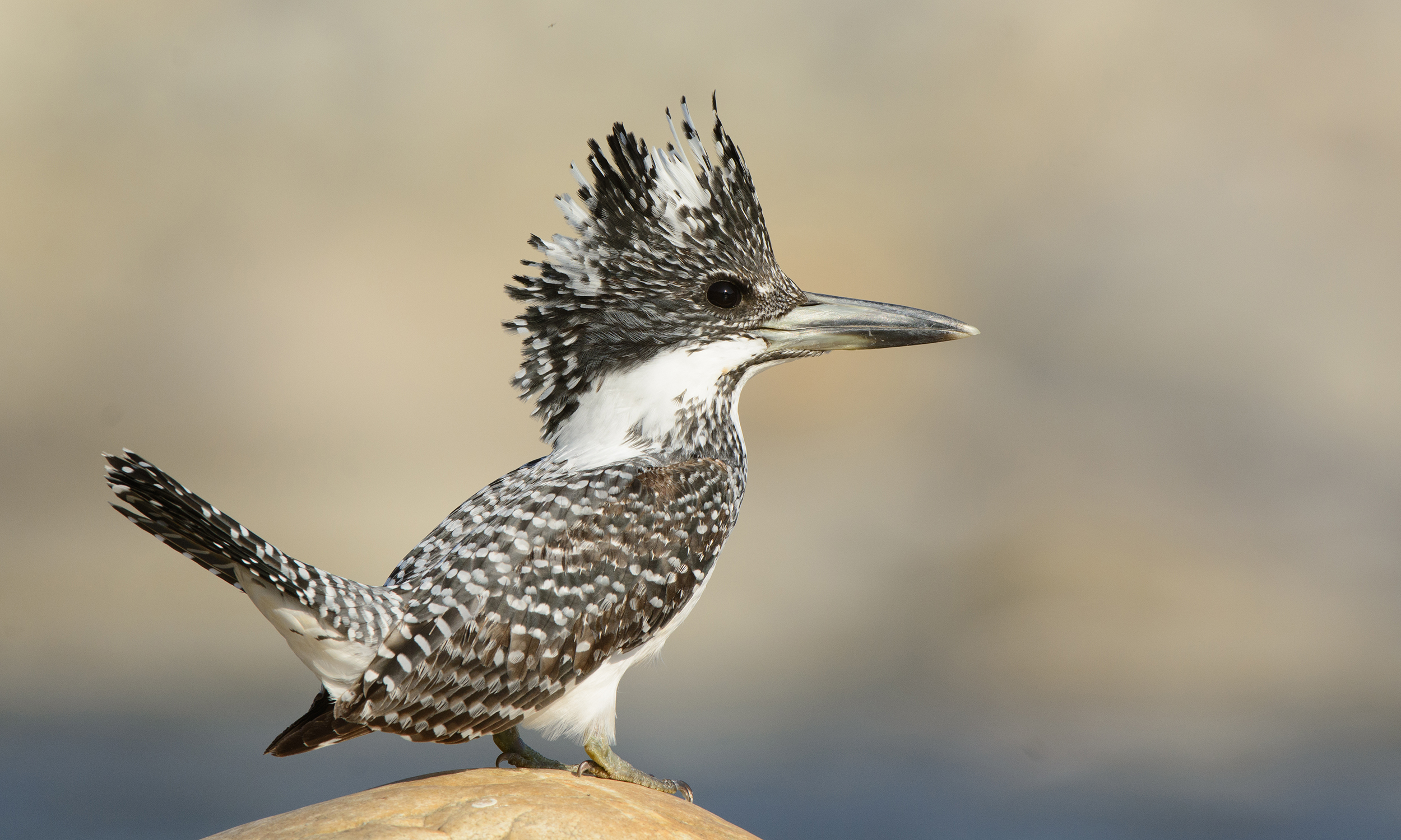 Crested Kingfisher - Profile | Facts | Call | Diet | Japan
