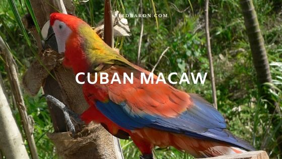 Cuban Macaw (Ara tricolor) Description