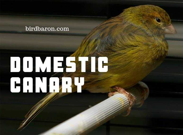 Domestic Canary - Are Canary good Pets?