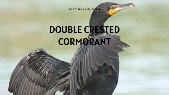 Profil de cormoran à aigrettes (Phalacrocorax auritus)
