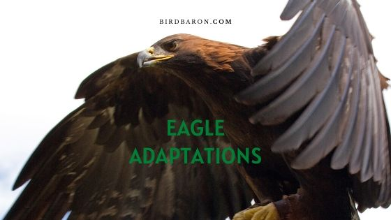 Eagle Adaptations - How do Eagles Survive?