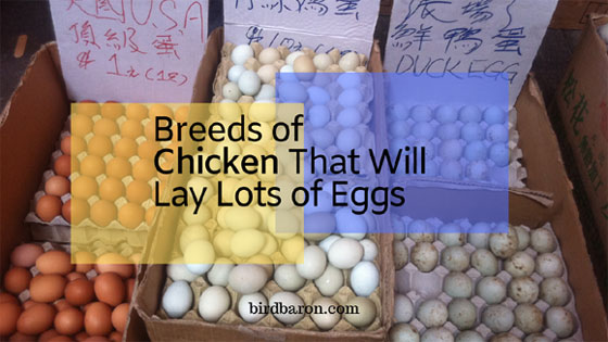 Egg Laying Hens and Chickens Breed that Lay Millions