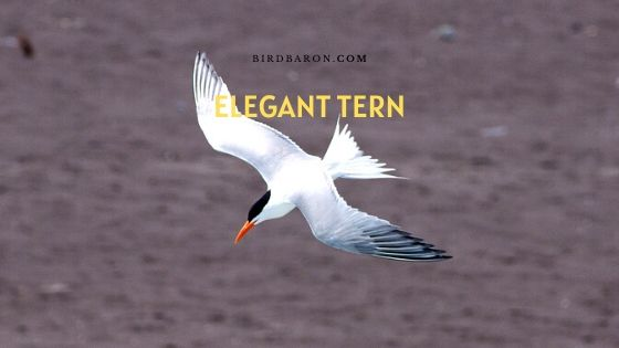 Elegant Tern (Thalasseus elegans) Description