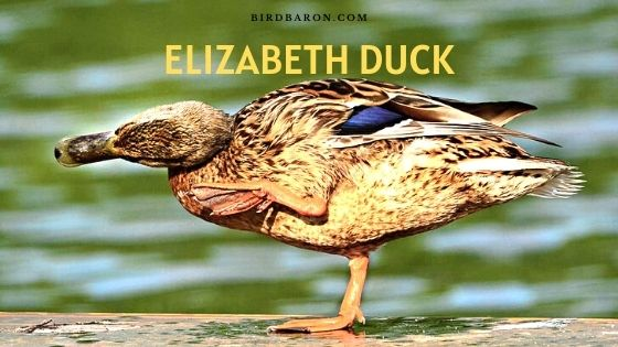 Elizabeth Duck - Profil | Oeufs | Taille | Agriculture | Soins | Alimentation
