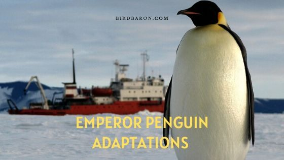Adaptations du manchot empereur - Types d'adaptation