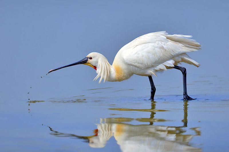 Eurasian Spoonbill - Profile | Facts | Range | Lifespan | Color