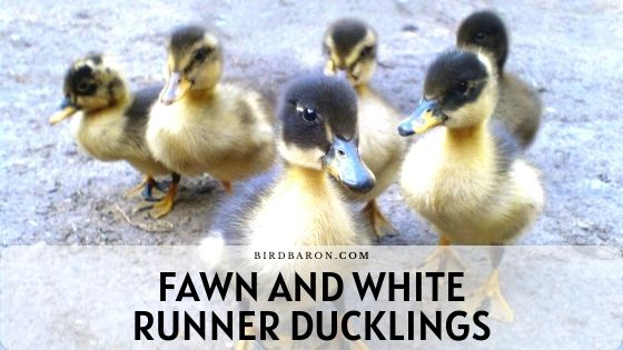 Fawn and White Runner Ducklings - Care | Profile | Fly