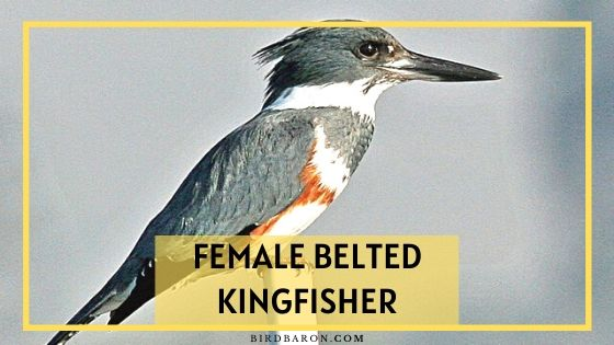 Female Belted Kingfisher - Uniqueness | Characteristics