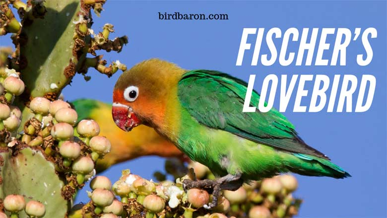 Fischer's Lovebird - Personality | Mutations | Price | For Sale