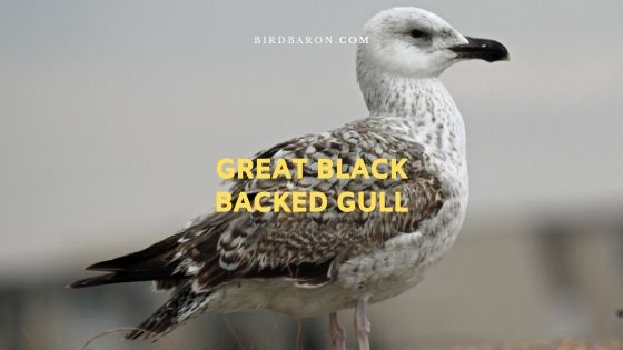 Description et faits de Great Black Backed Gull